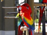 male and female Scarlet Macaw Parrots