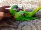 Talking Hahns Macaw