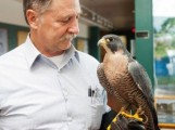 Peregrines for Sale!