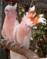 are available for sale Cockatoos