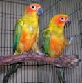 Two pair senegal parrot for sale