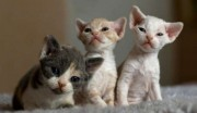 Devon Rex kittens for your home adoption