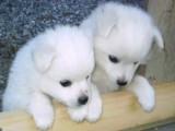 Beautiful Siberian Husky Puppies Available