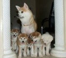 This handsome little guy Akita Puppies For Sale