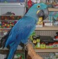 Talking Blue and Gold Macaws for adoption,,,