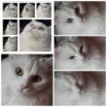 قطة انجورا تركي انثى بيضاء