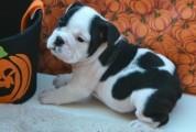 AKC registered English Bulldogs for adoption.