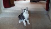 Lovely Bengal X Kitten