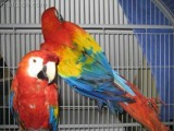 blue and cold scarlet macaw bird for adoption