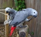 Awesome Talking pair of talking African gray parrots