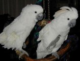 WHITE ANGEL COCKATOO PARROTS FOR GOOD HOME