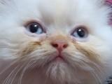 قطط هملايا بيكى فيس عمر شهرين ونصف