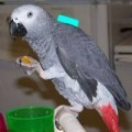 well trained African grey parrot in a good home
