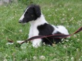 Beautiful Borzoi Puppies For Show/coursing Home