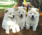 Excellent Chow Chow Puppies for loving homes
