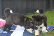 Purebred and Standard American Akita Puppies available for re-h