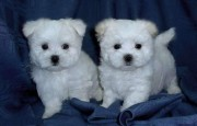 Super Adorable Maltese Puppies for adoption