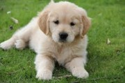 Male and Female Golden Retriever Puppies Available for re homing