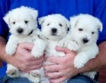 Excellent West Highland Terrier Puppies.