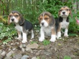 Tri Coloured Beagles Puppies Ready Now for new homes