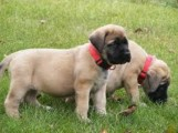 3 Beautiful English Mastiff puppies available.