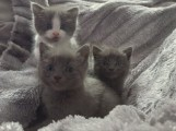 Russian Blue Kitten for Caring Home11