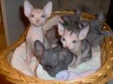 WE have Sphynx Kittens