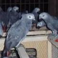 Congo African Grey Parrots..