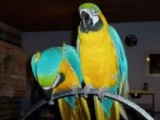 BLUE AND GOLD MACAW PARROT FOR ADOPTION
