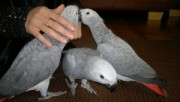 ***African grey parrots for adoption this Xmas***