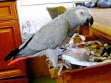 Cute female African Grey Parrot for adoption..