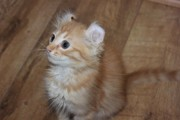 Red American Curl Kittens Available