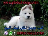 عرض سعر كلب جيرمن ابيض بيور للبيع