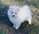 كلب صغير طويل الشعر جميلة للبيع