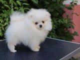 اثنين من الجراء T-كأس كلب صغير طويل الشعر رهيبة