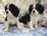 Cavalier King puppies