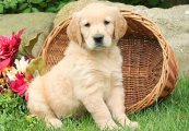 Golden Retriever puppies- Male and female