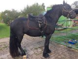 Excellent and lovely horse available for nice homes