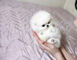 الجودة الممتازة الجراء كلب صغير صغيرتين رائعتين الفتيان والفتيات كك مسجلة