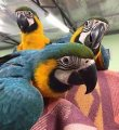 3 Blue and Gold Macaw Young Breeder Pairs on Sale