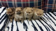 Purebred Pomeranian Puppies Available.