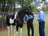 Young Energetic Friesian Horse for sale