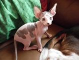 Available Sphynx Kittens for sale