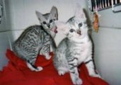Lovely Eygtian mau kittens for sale