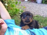Home raised Rottweiler pups.