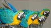 Lovely Blue And Gold Macaw parrots for sale