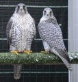 Young Peregrine & Gyr falcons for Sale