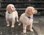 English Golden Retriever puppies