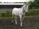 Male and Female Arabian Horse For Sale