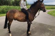 Strong Male and Female Arabian Horse For Sale